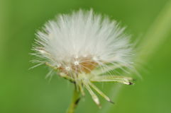 Fluffy dandelion seed ball Royalty Free Stock Photos