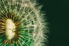 Fluffy dandelion with seed parachutes on green background close-up Stock Photo