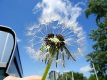 Fluffy dandelion seeds against blue sky closeup royalty free stock images