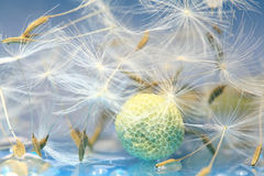 Fluffy dandelion seeds Royalty Free Stock Photos