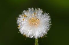 Fluffy dandelion seeds stock images