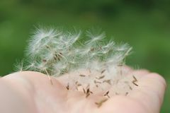Fluffy dandelion seeds in hand. Against the background of the field stock image