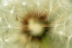 Fluffy dandelion. Fluffy white dandelion on a green background Stock Image