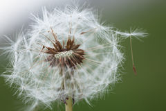 Fluffy dandelion Royalty Free Stock Image