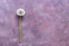 Free Fluffy Dandelion With Seeds On A Beautiful Abstract Background, Copy Space, Top View. Abstract Pink-purple Background. Royalty Free Stock Photography - 119145487