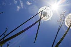 Fluffy dandelions backlit Stock Photography