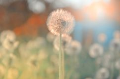 Fluffy dandelions growing in spring garden illuminated by the warm golden light of setting sun on a soft blurred background. stock images