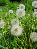 Fluffy dandelions Stock Photos