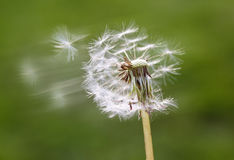 Fluffy dandelions seeds flying. With down wind Royalty Free Stock Photography