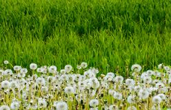 Fluffy dandelions in the tall grass. Beautiful nature background Stock Photo