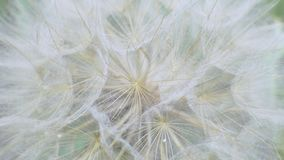 Fluffy Delicate Dandelion Seeds on Green Background in Field. Alergy concept stock footage