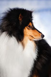 Fluffy dog collie in profile Royalty Free Stock Photography