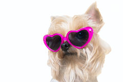Fluffy dog with a hearts sunglasses Royalty Free Stock Photo
