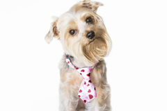 Fluffy dog with a hearts tie listening Royalty Free Stock Photo
