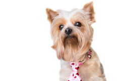 Fluffy dog with a hearts tie Royalty Free Stock Photo