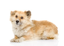 Fluffy dog lying in profile. looking at camera. isolated on whit Royalty Free Stock Photos