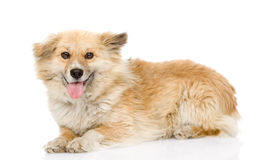 Fluffy dog lying in profile. looking at camera.  on whit Stock Images