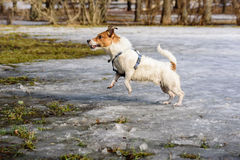 Fluffy dog playing on melting snow at spring park. Wet and dirty Jack Russell Terrier Royalty Free Stock Image