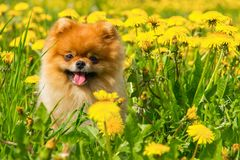 Fluffy Dog Pomeranian Spitz Sitting in a Spring Park in Surround. Ed Dandelions on a Sunny Day Royalty Free Stock Photography