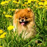 Fluffy Dog Pomeranian Spitz Sitting in a Spring Park in Surround. Ed Dandelions on a Sunny Day Royalty Free Stock Image