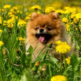 Fluffy Dog Pomeranian Spitz Sitting in a Spring Park in Surround. Ed Dandelions on a Sunny Day Stock Photography