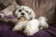 Fluffy dog portrait Royalty Free Stock Images