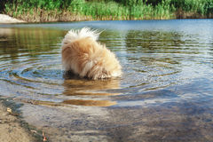 Fluffy dog put her head in river water. Pedigree dogs Pomeranian dipped his head into the water of the river a sunny summer day Stock Photography