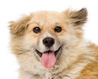 Fluffy dog sitting in front. looking at camera. is Stock Photo
