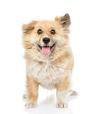 Fluffy dog standing in front. looking at camera.   Stock Photography