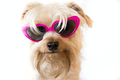 Fluffy dog with sunglasses Stock Photos