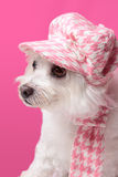 Fluffy dog wearing winter fashion. Beautiful pampered dog wearing trendy doggy fashion matching hat and scarf Stock Image