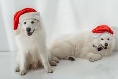 Fluffy dogs in santa hats. Two funny fluffy samoyed dogs in santa hats looking at camera Stock Images