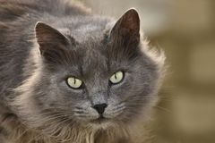Fluffy domestic cat with light eyes. Gray home fluffy cat, with light eyes, close-up, on a natural blurred background stock image