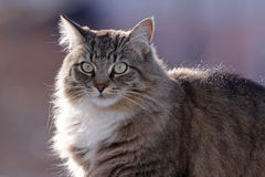 Fluffy Domestic Cat Profile Stock Photography