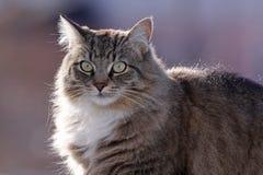 Fluffy Domestic Cat Profile Stock Photography