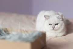Fluffy domestic cat sitting in bedroom Stock Image