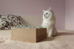 Fluffy domestic cat sitting in bedroom Royalty Free Stock Photo