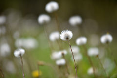 Fluffy dry dandelions in the meadow Royalty Free Stock Photography