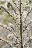 Fluffy dry plant Royalty Free Stock Photography