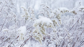 Fluffy, dry snow plant. Stock Images