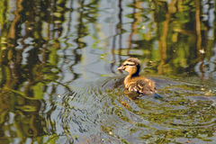 Fluffy duckling on the water. Little fluffy duckling floats on the body of water Stock Photo