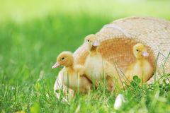 Fluffy Ducklings Stock Image