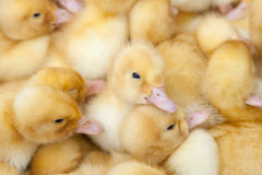 Fluffy ducklings Stock Photography