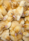Fluffy ducklings Royalty Free Stock Image