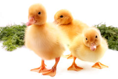 Fluffy ducklings Stock Photos