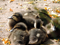THe fluffy ducklings. All together Stock Image