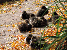 THe fluffy ducklings. All together Stock Photography