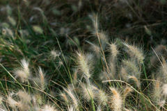 Fluffy dwarf burgundy bunny fountain grass in a park Spain Royalty Free Stock Photo