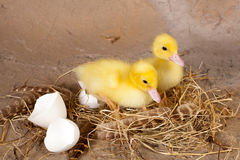 Fluffy easter ducklings Royalty Free Stock Photography