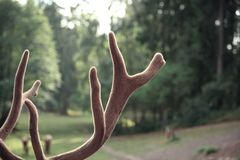Fluffy elk horns in green background royalty free stock photos